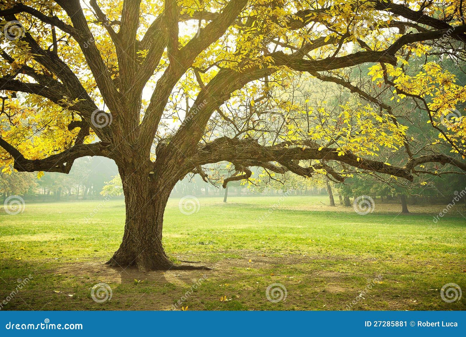 Złotej Spadek Ulistnienia Jesień Żółty Klonowy Drzewo