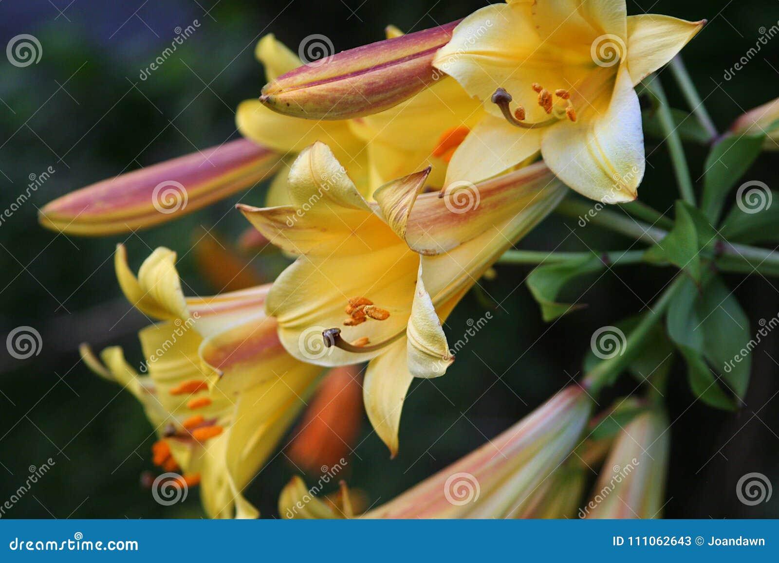 Złotej trąbki leluje otwierają symfonię kolor