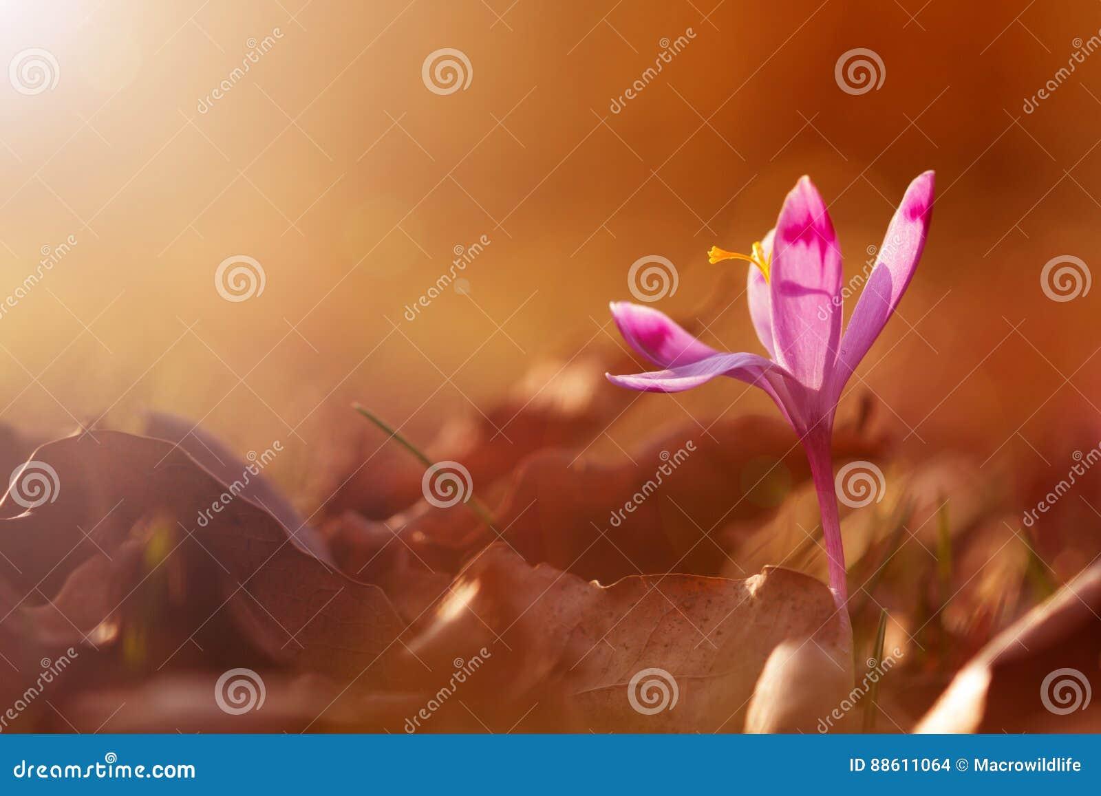 Złoty światło słoneczne na piękny wiosna kwiatu krokusa rosnąć dziki Zadziwiający piękno dzicy kwiaty w naturze