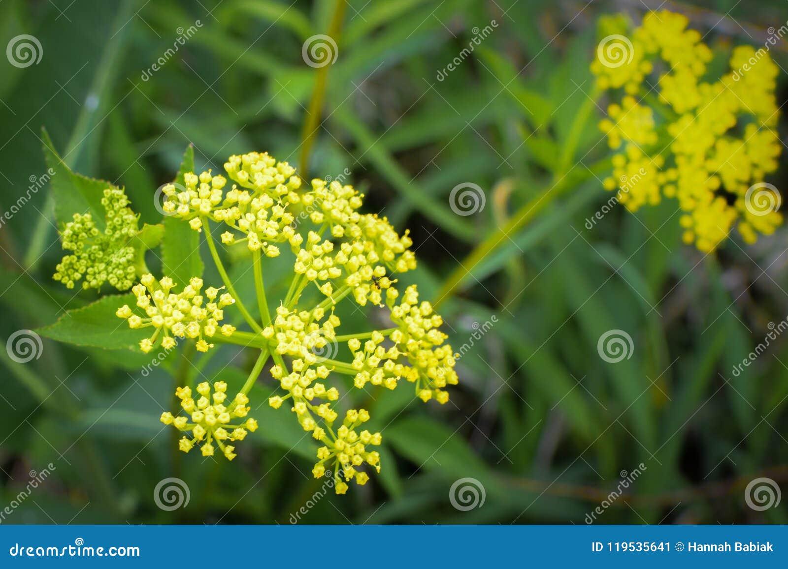 Złoty Aleksander - Żółci Wildflowers