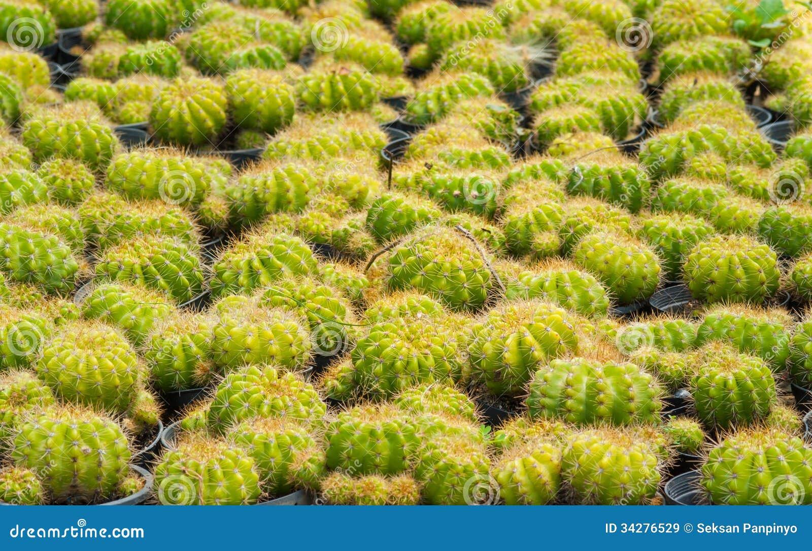 Złoty balowy kaktus