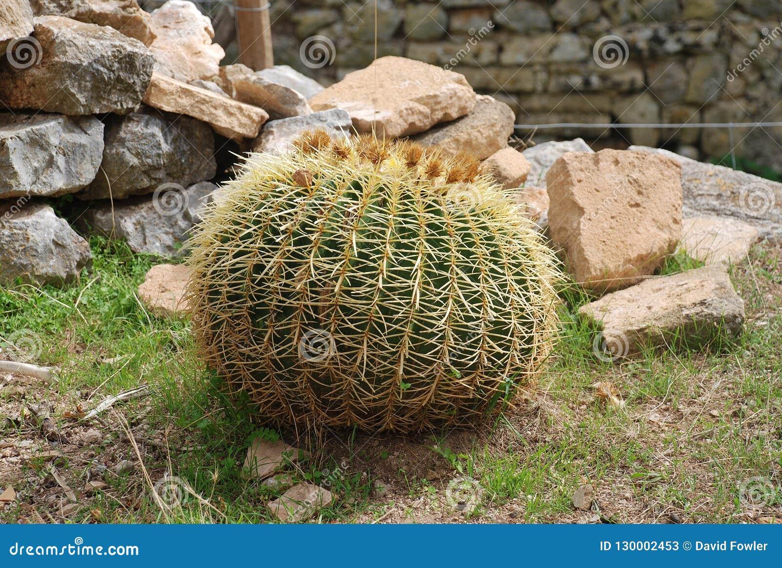 Złoty Balowy kaktus, Majorca