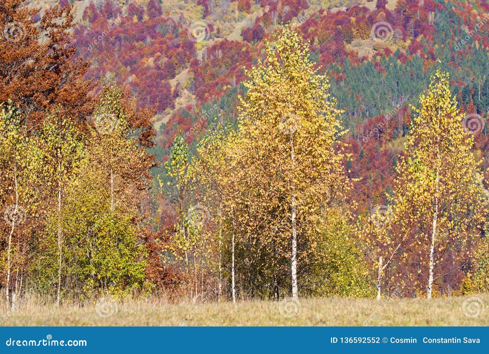 Złoty brzozy drzewo z jesieni tłem