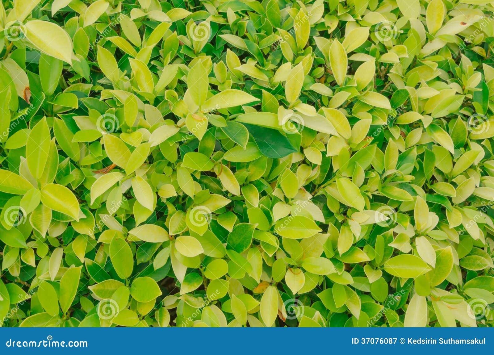 Download Złoty Dewdrop, Niebo Kwiat, Gołębiej Jagody Tło Obraz Stock - Obraz złożonej z jaskrawy, tło: 37076087