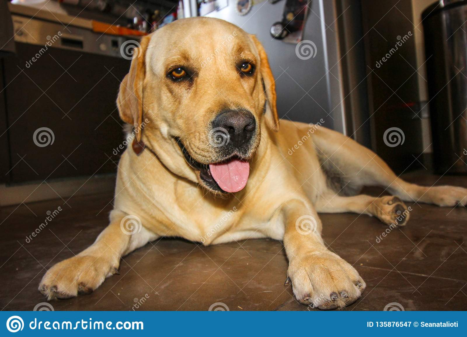 Złoty labrador odpoczywa po tym jak 10 km spacer w polach