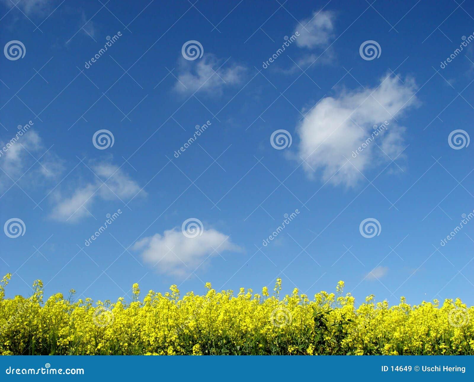Złoty pola canola