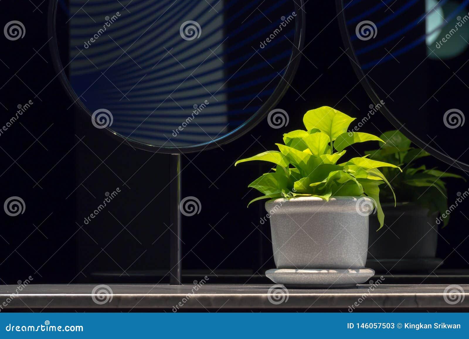 Złoty pothosEpipremnum aureum w porcelana garnku na łazience odpierającej obok lustra z kopii przestrzenią Diabła bluszcz jest je