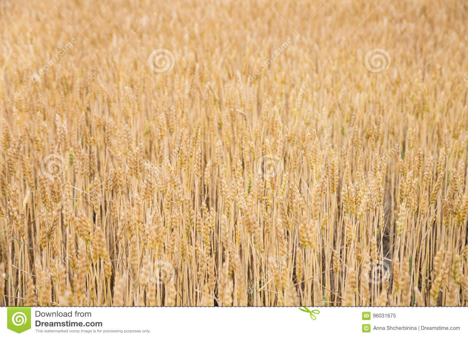 Złoty pszeniczny backgrond Krajobraz z pszenicznym polem