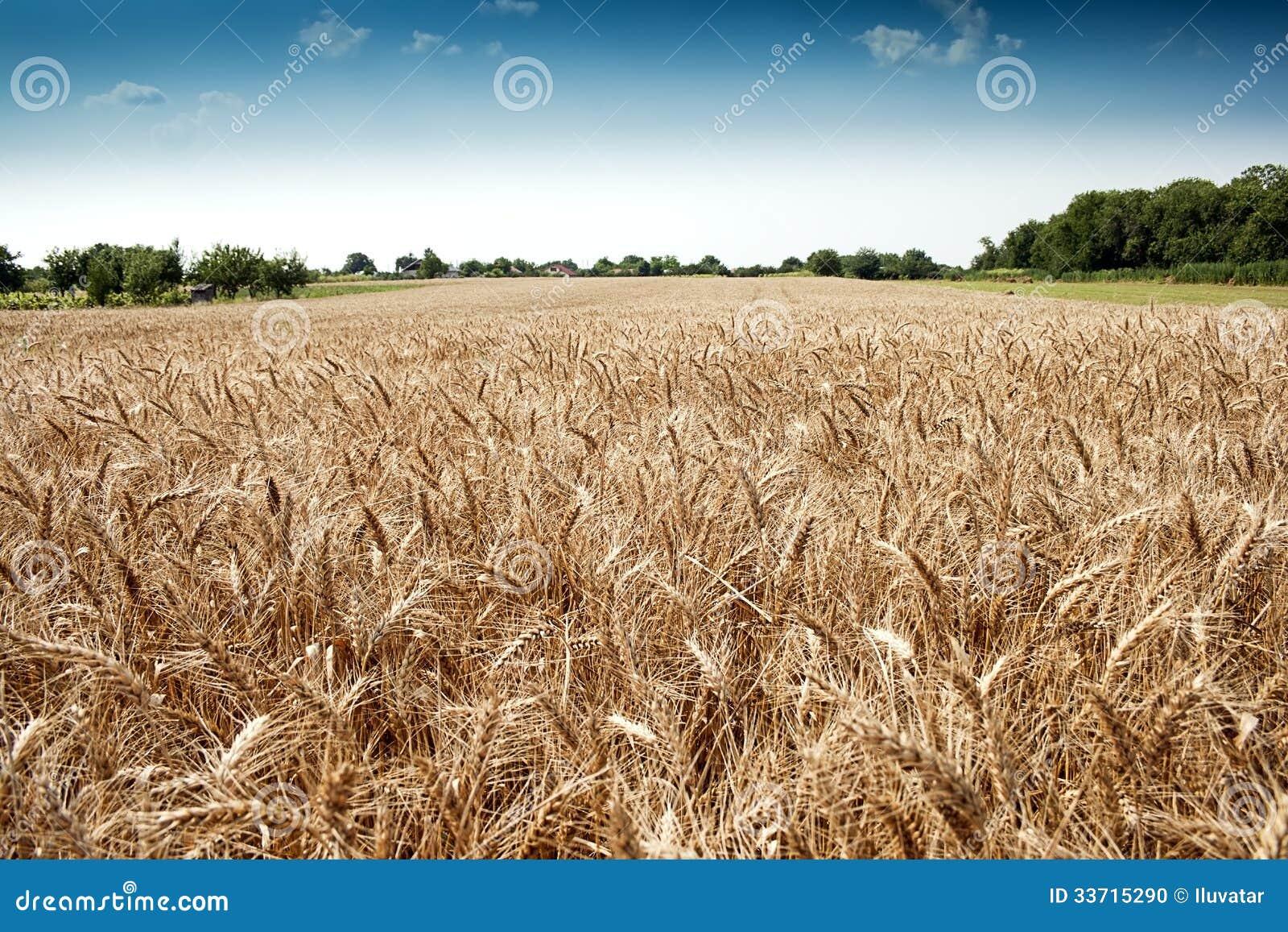 Złoty pszeniczny pole