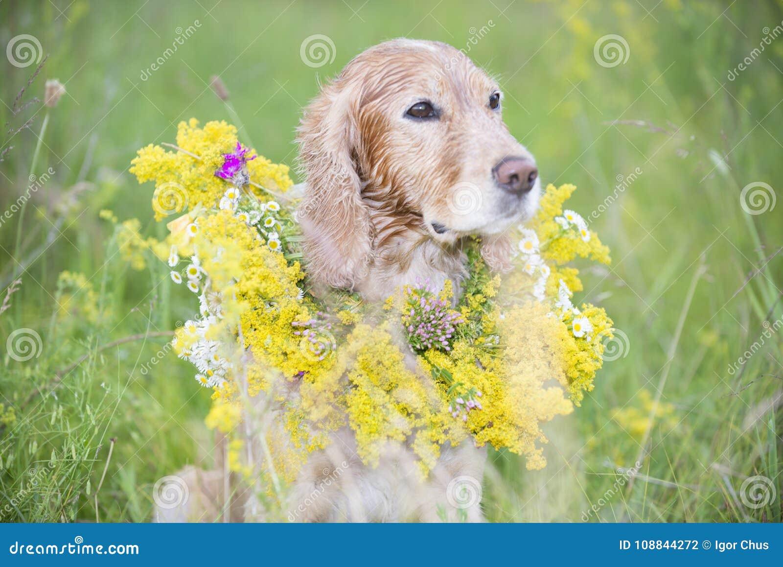Złoty spaniel w łące z bukietem wiosna kwitnie
