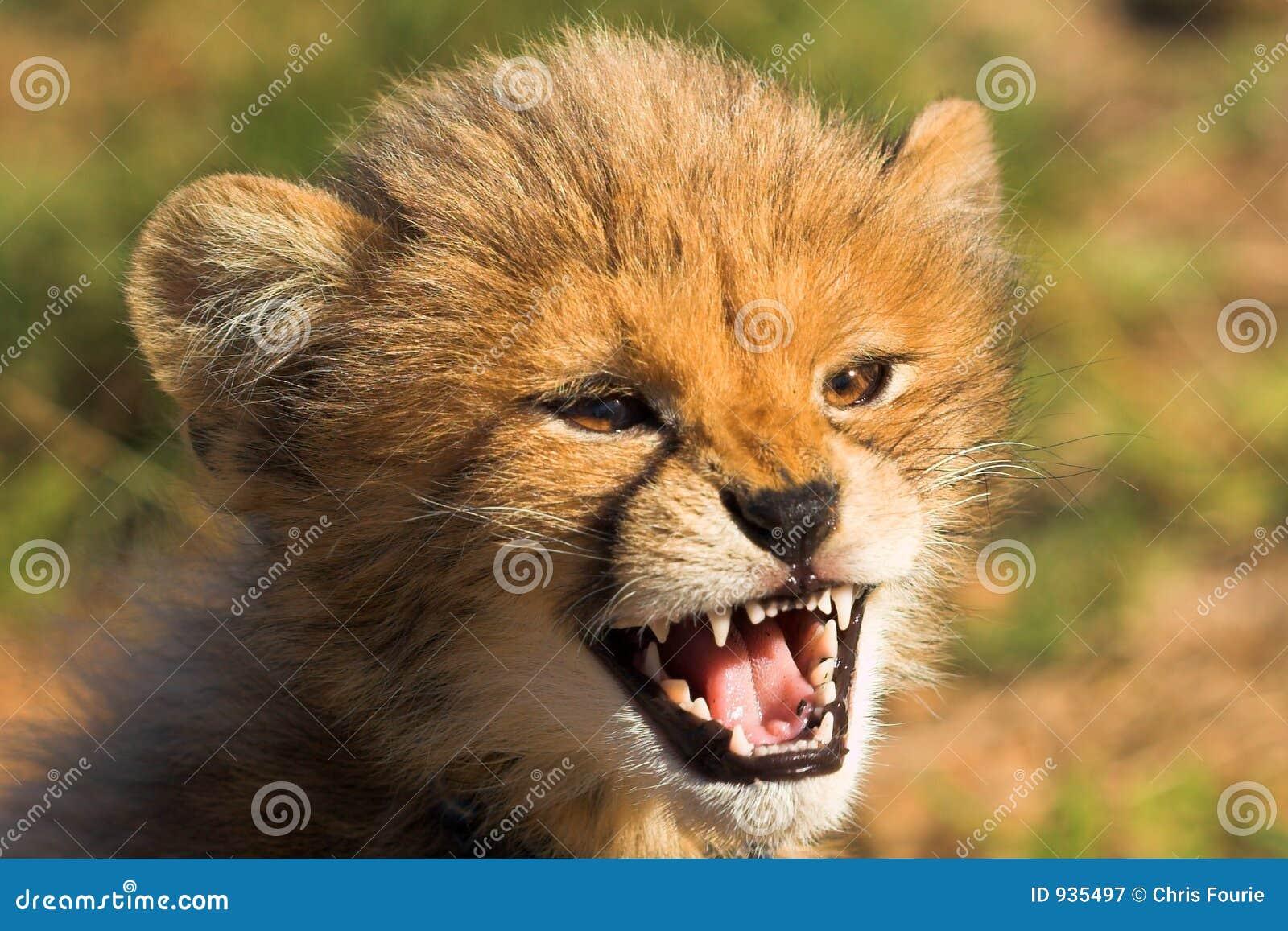 Zły geparda niemowlę