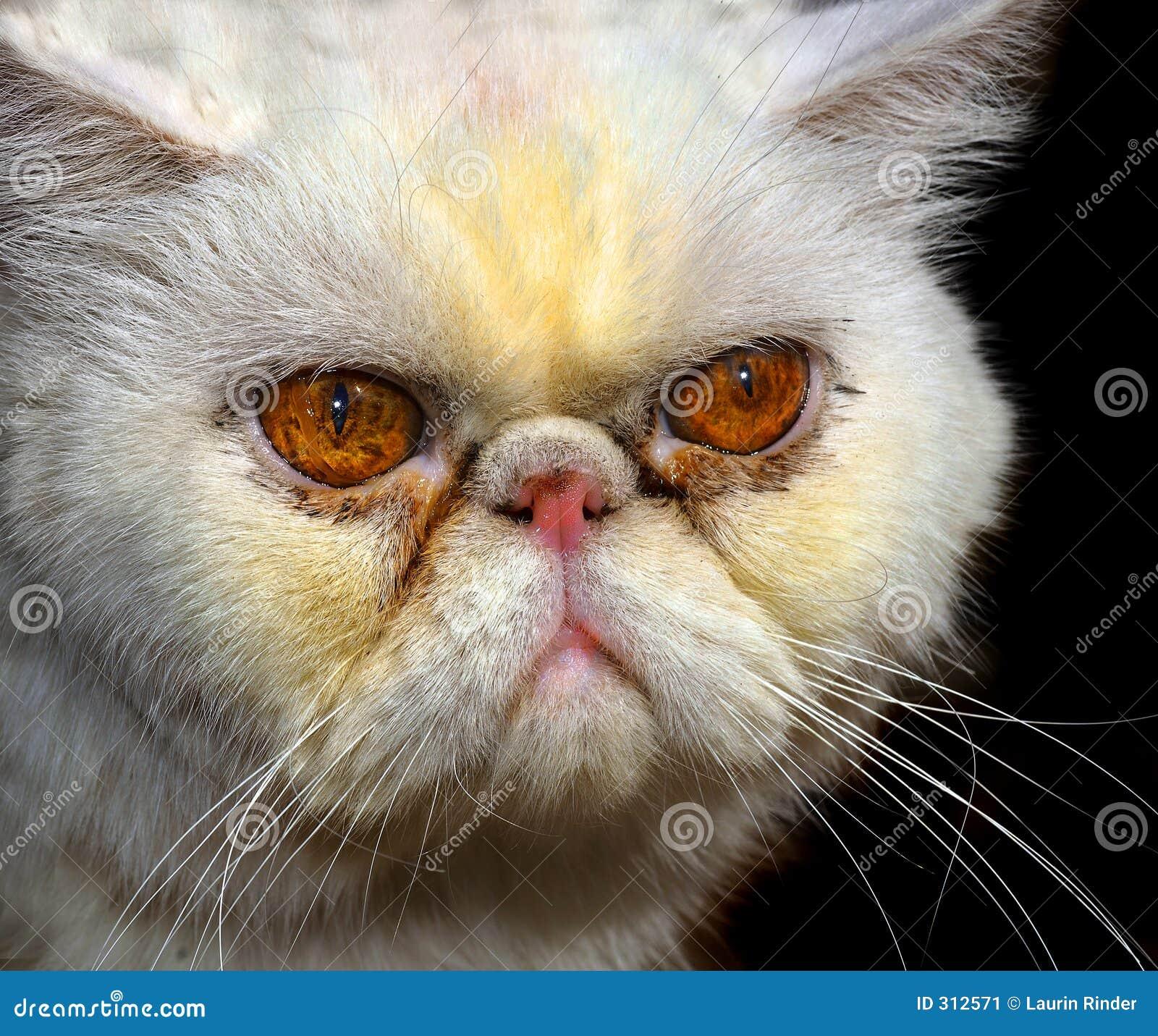 Zły pers kota