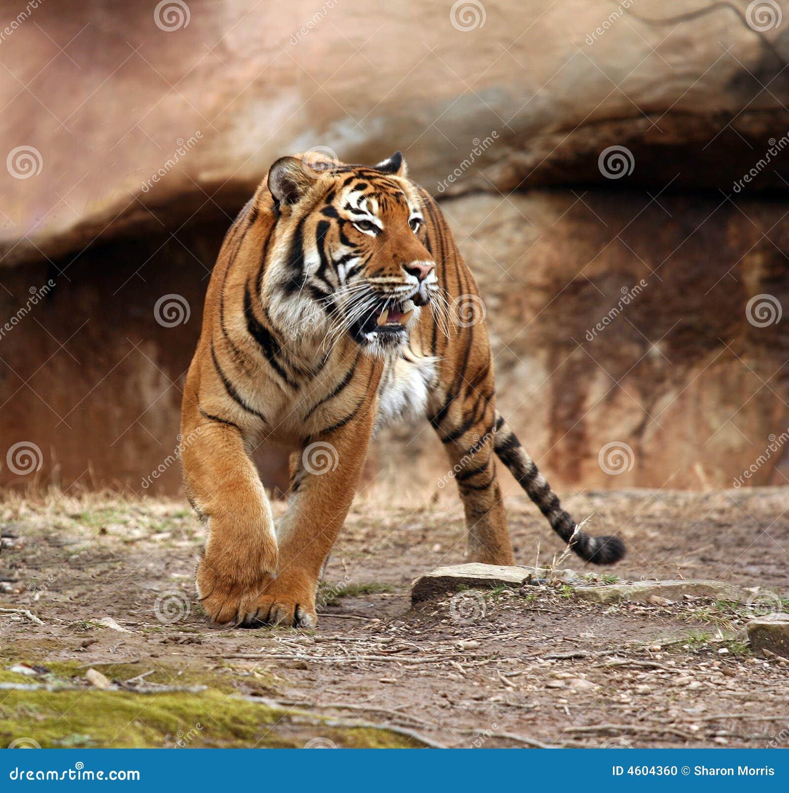 Zły tygrys