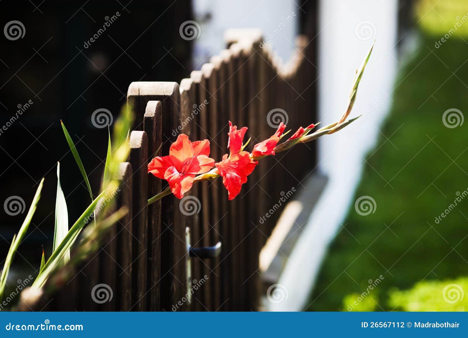 Z irysowi spojrzenia uprawiają ogródek ogrodzenie
