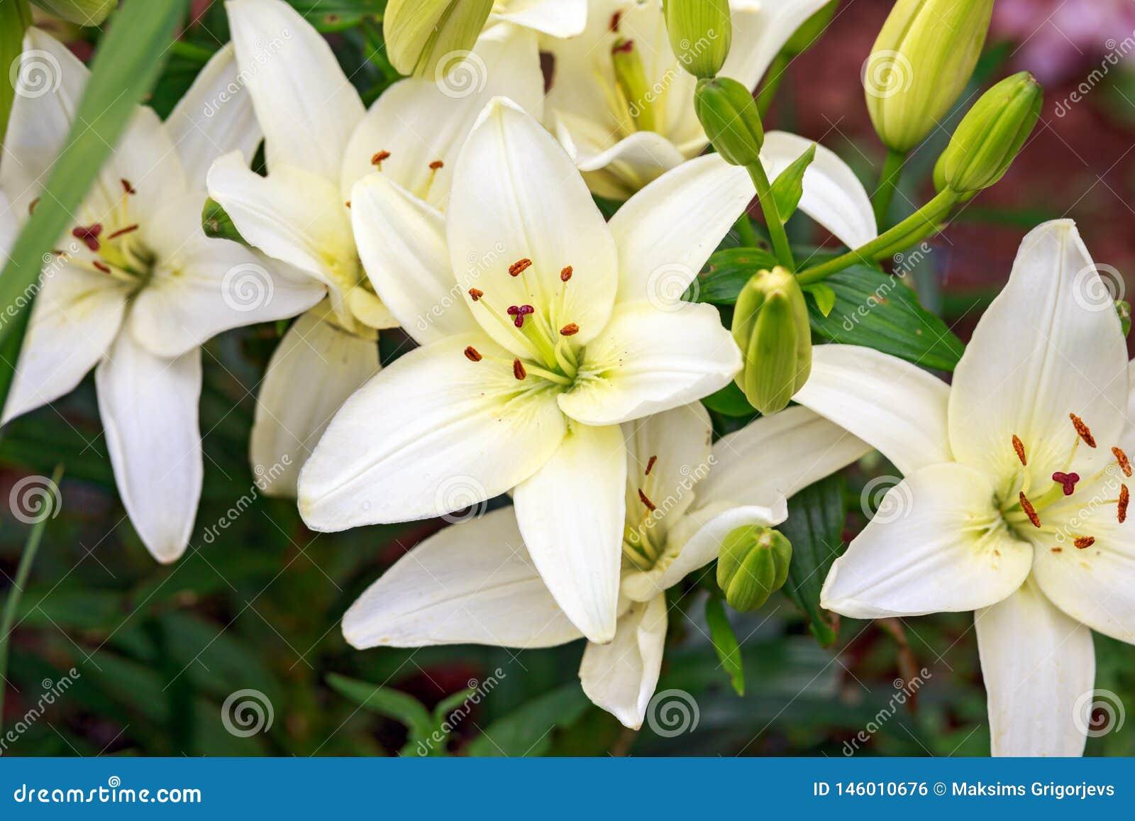 Z kości słoniowej biel lilly w dom zieleni ogródzie