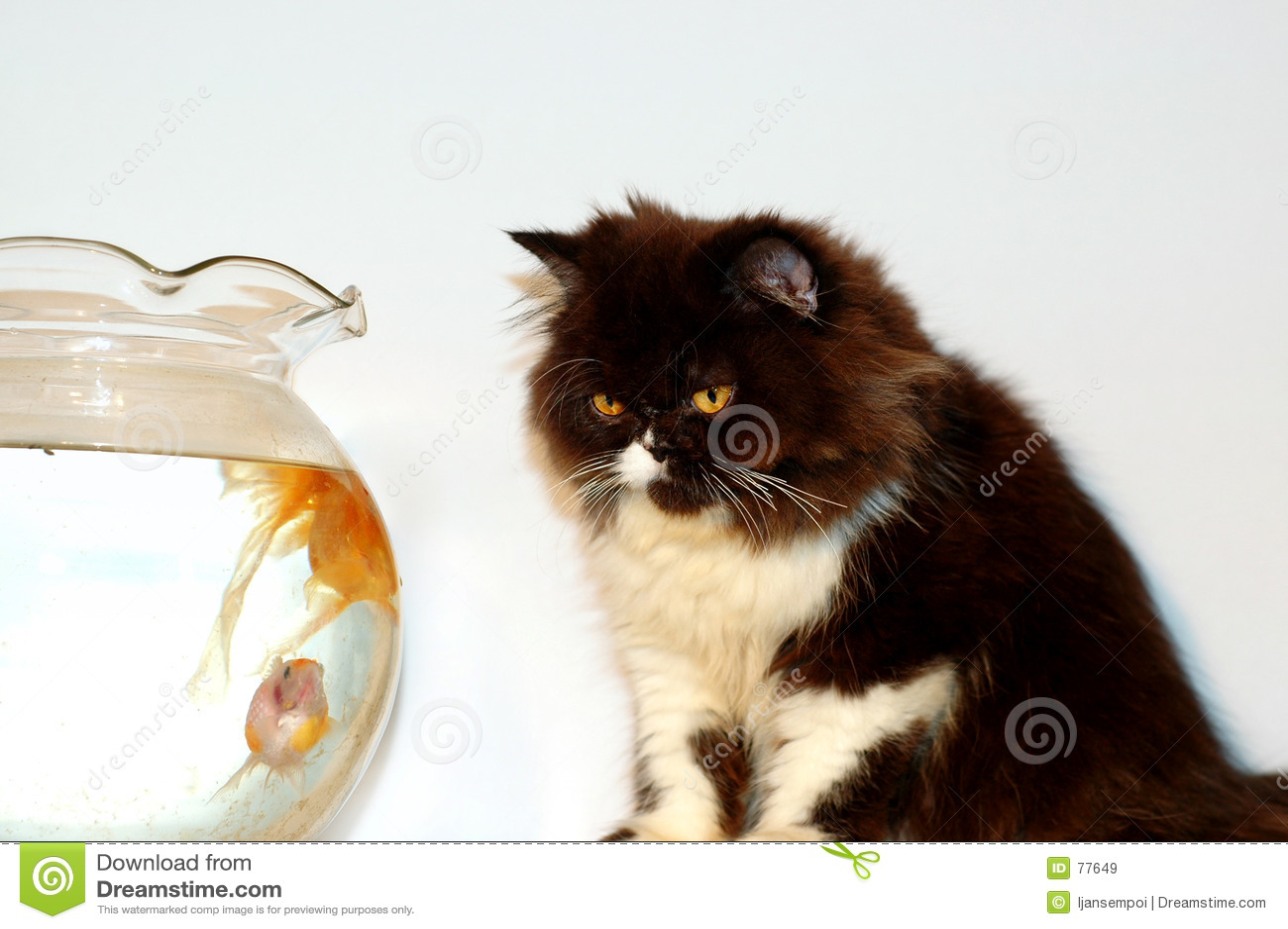 Złoty ryb na kota