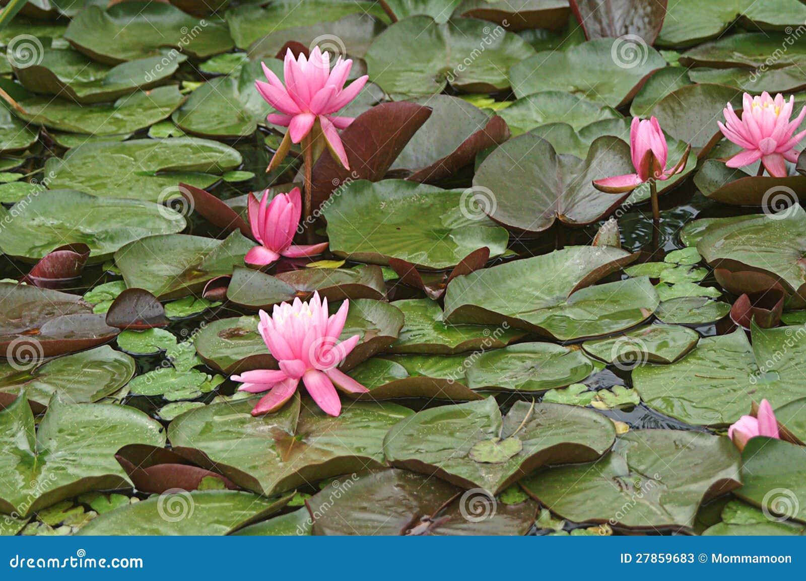Z Różowymi Grążelami TARGET1157_0_ Liść
