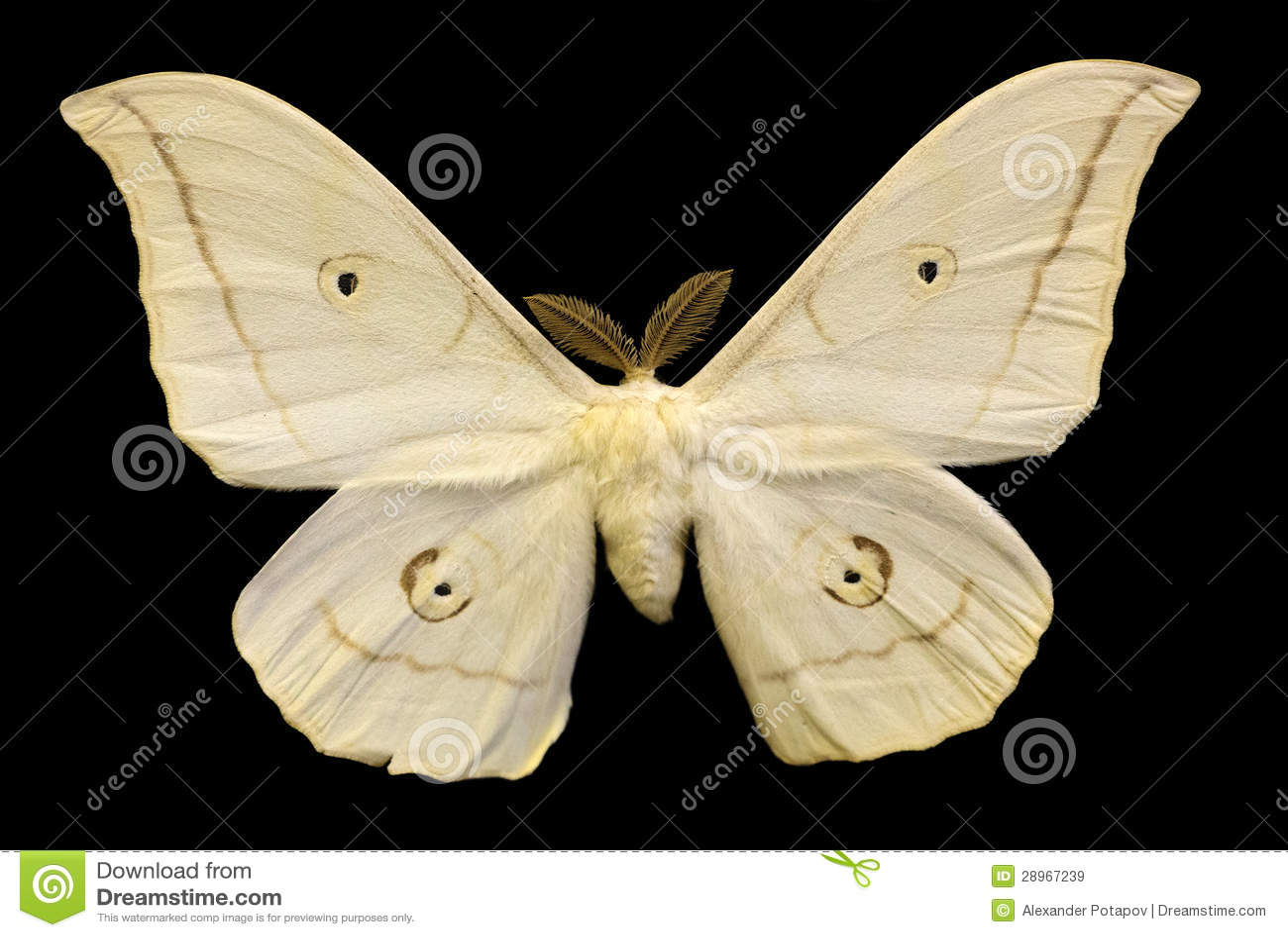 Zaświeca beżowego motyla odizolowywającego na czerni
