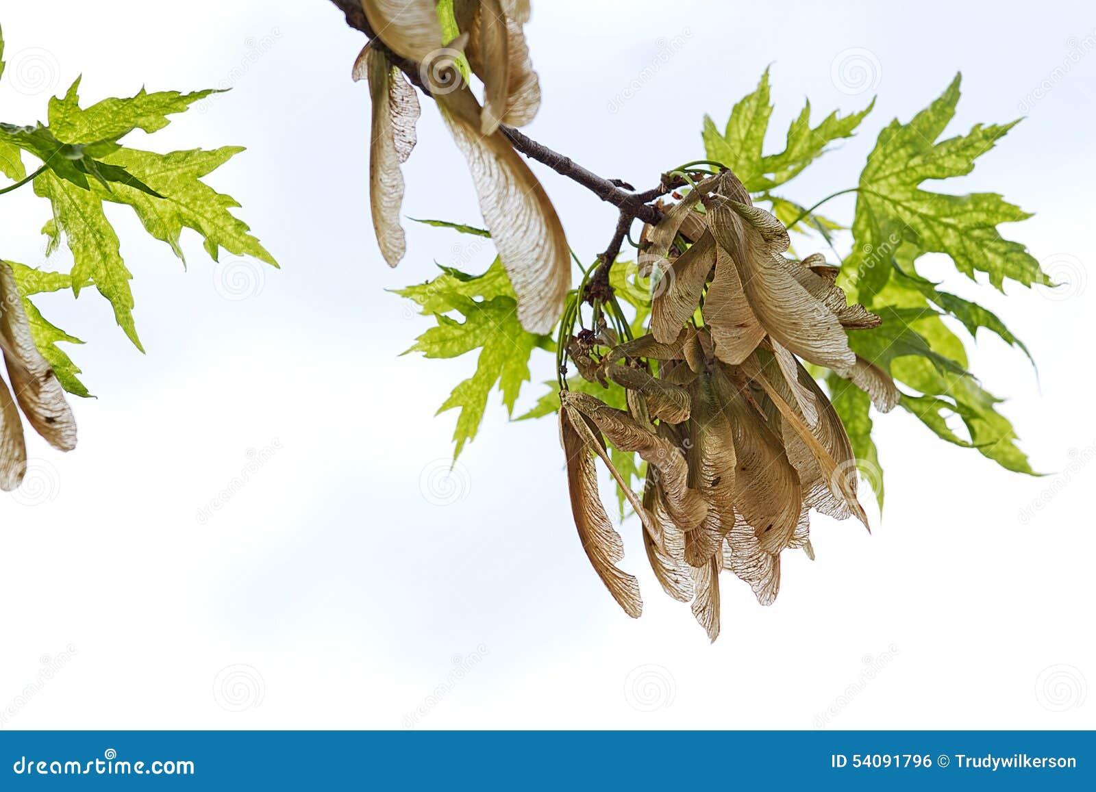 Zaadpeulen die op boomtak hangen