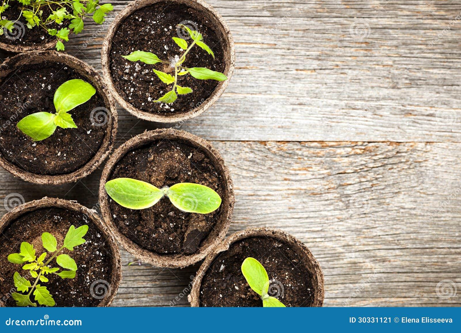 Zaailingen die in de potten van het turfmos groeien