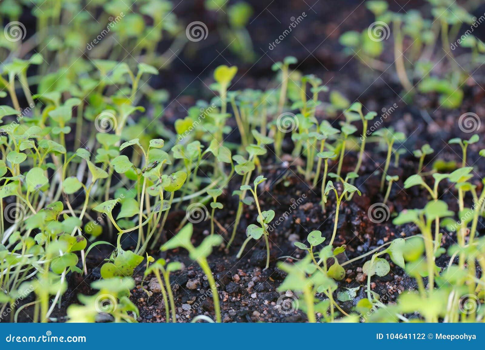 Download Zaailingen Van Groenten Ter Plaatse Stock Foto - Afbeelding bestaande uit cultuur, aarde: 104641122