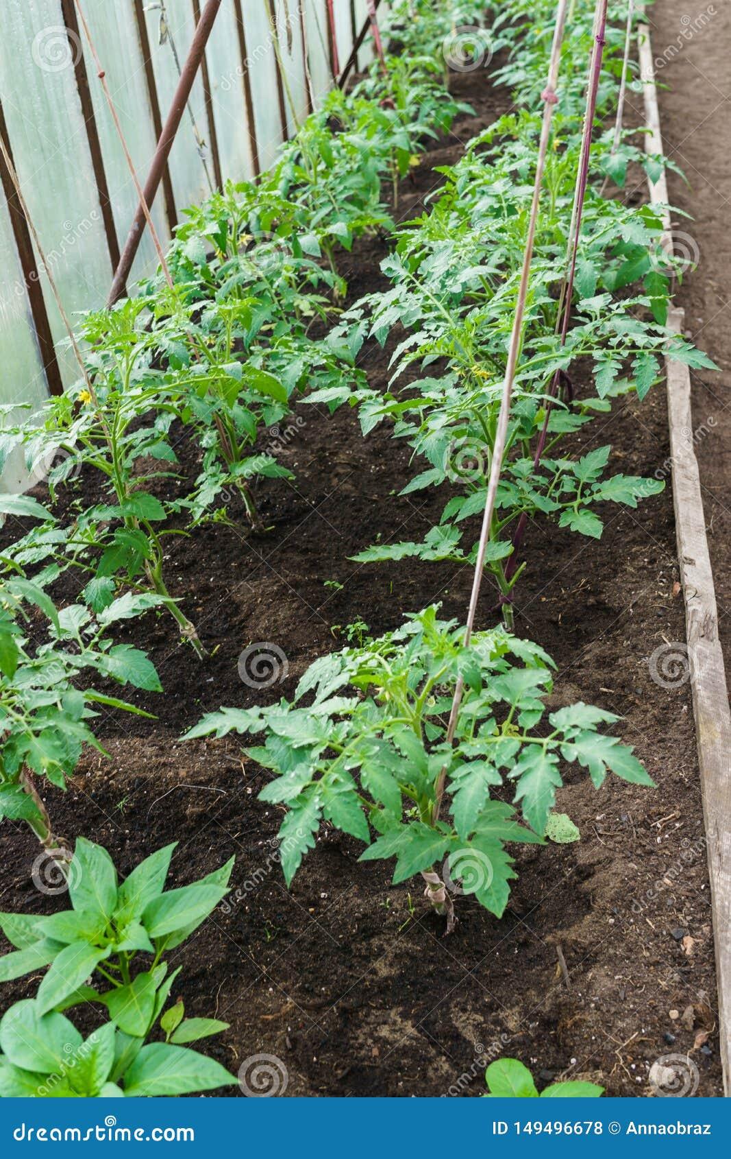 Zaailingen van tomaat Het kweken van tomaten in de serre Het kweken van groenten in serres