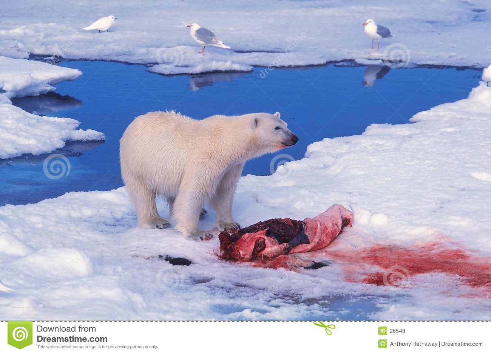 Zabić niedźwiedzia w polarnej seal