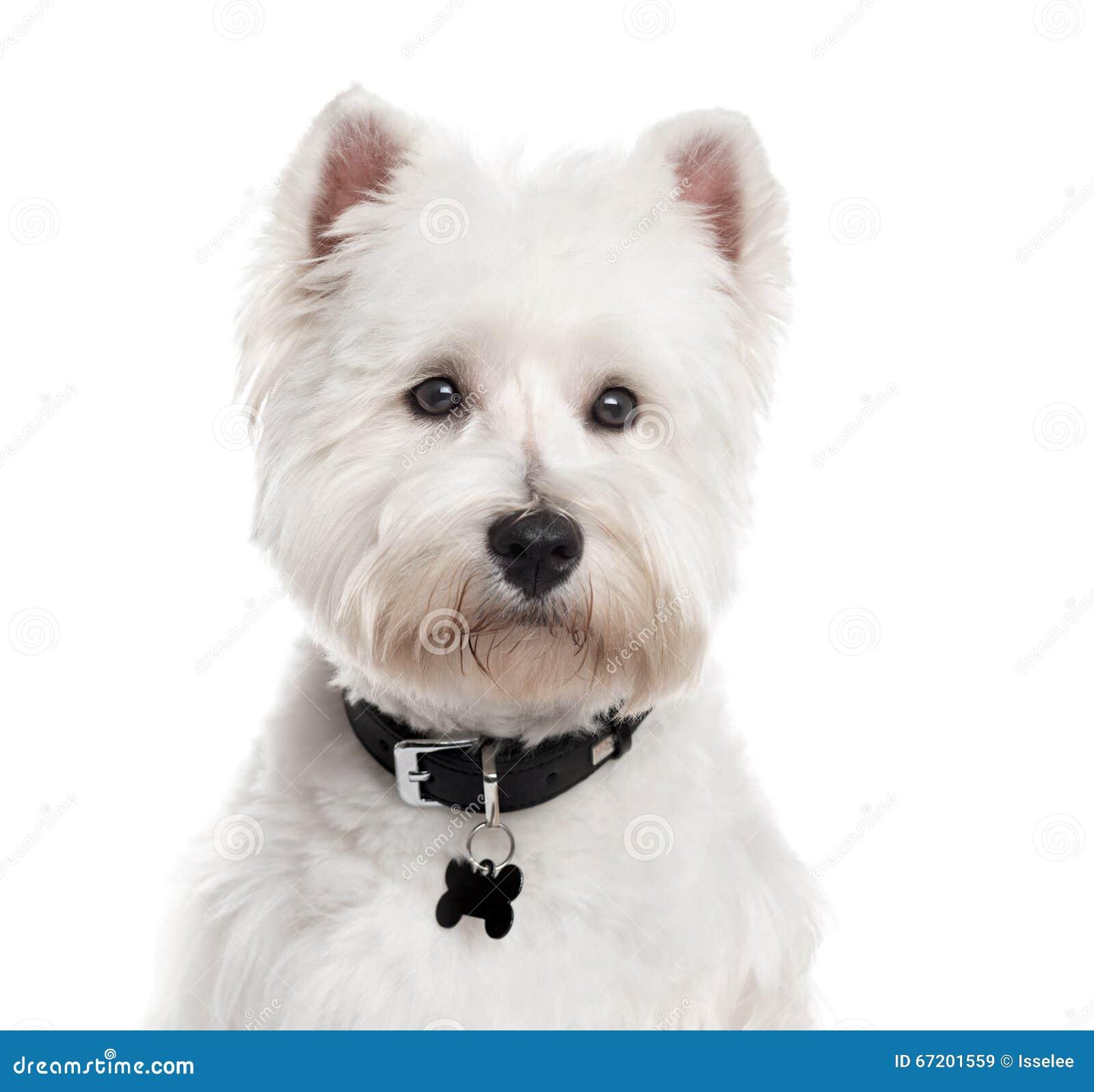 Zachodni średniogórze Biały Terrier, odizolowywający na bielu