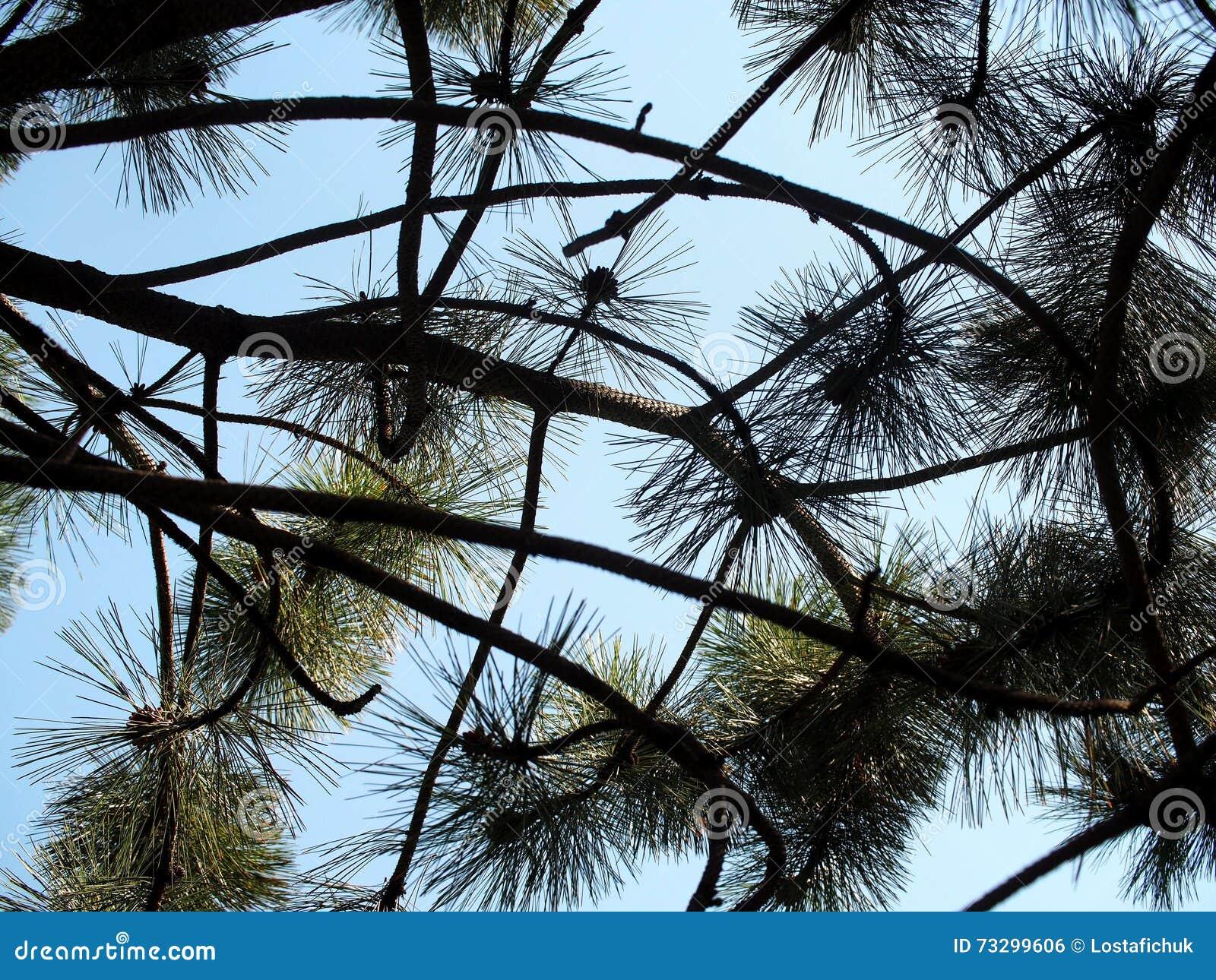 Zachodni White Pine Monticola Lub Pinus