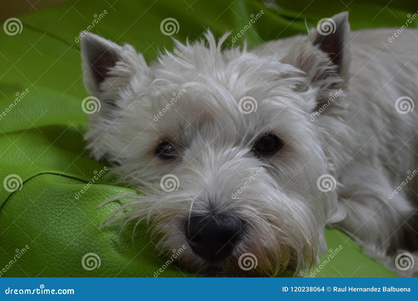 Zachodniego średniogórza Białego Terrier lying on the beach Na Jego łóżku Westy Natura, pies, zwierzę domowe, portret