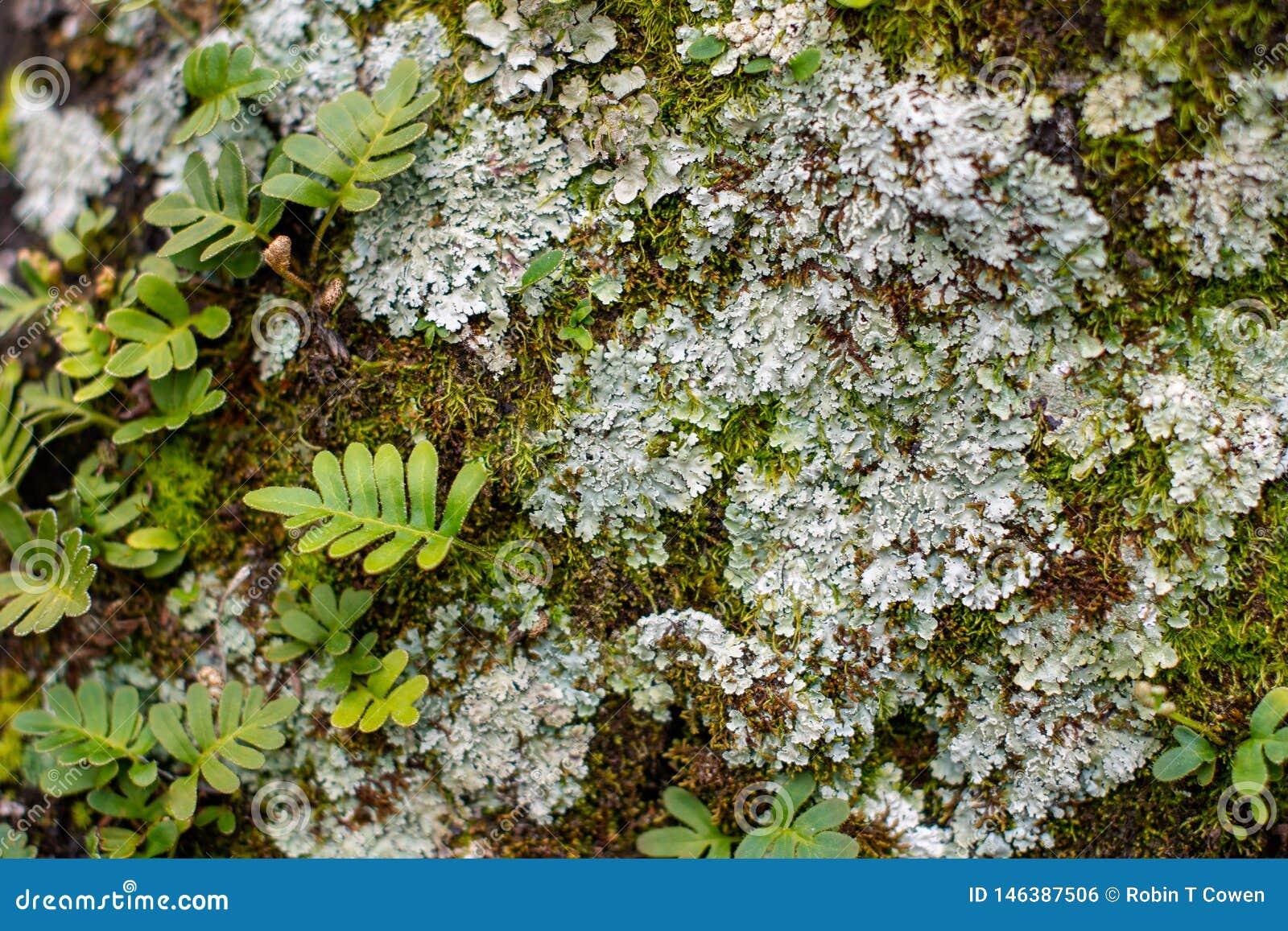 Zacht Geconcentreerd Varen, Korstmos en Moss Background