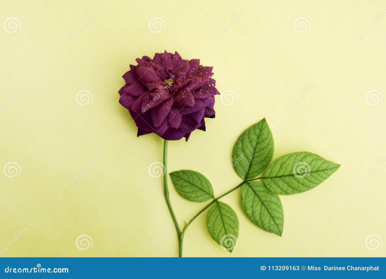 Zachte nadruk, gele achtergrond en mooie rode rozen