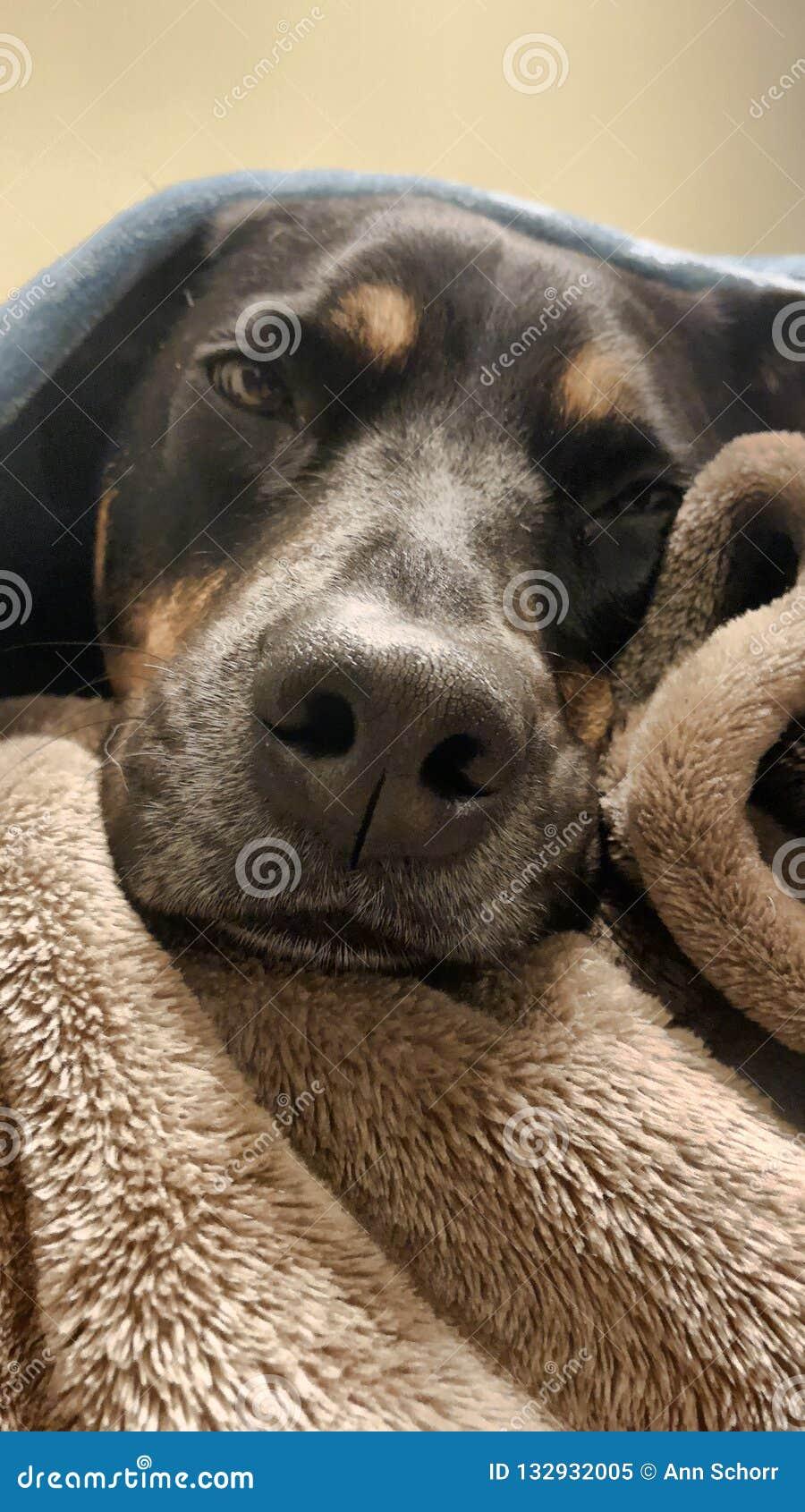 Zadowolony Rottweiler pod koc