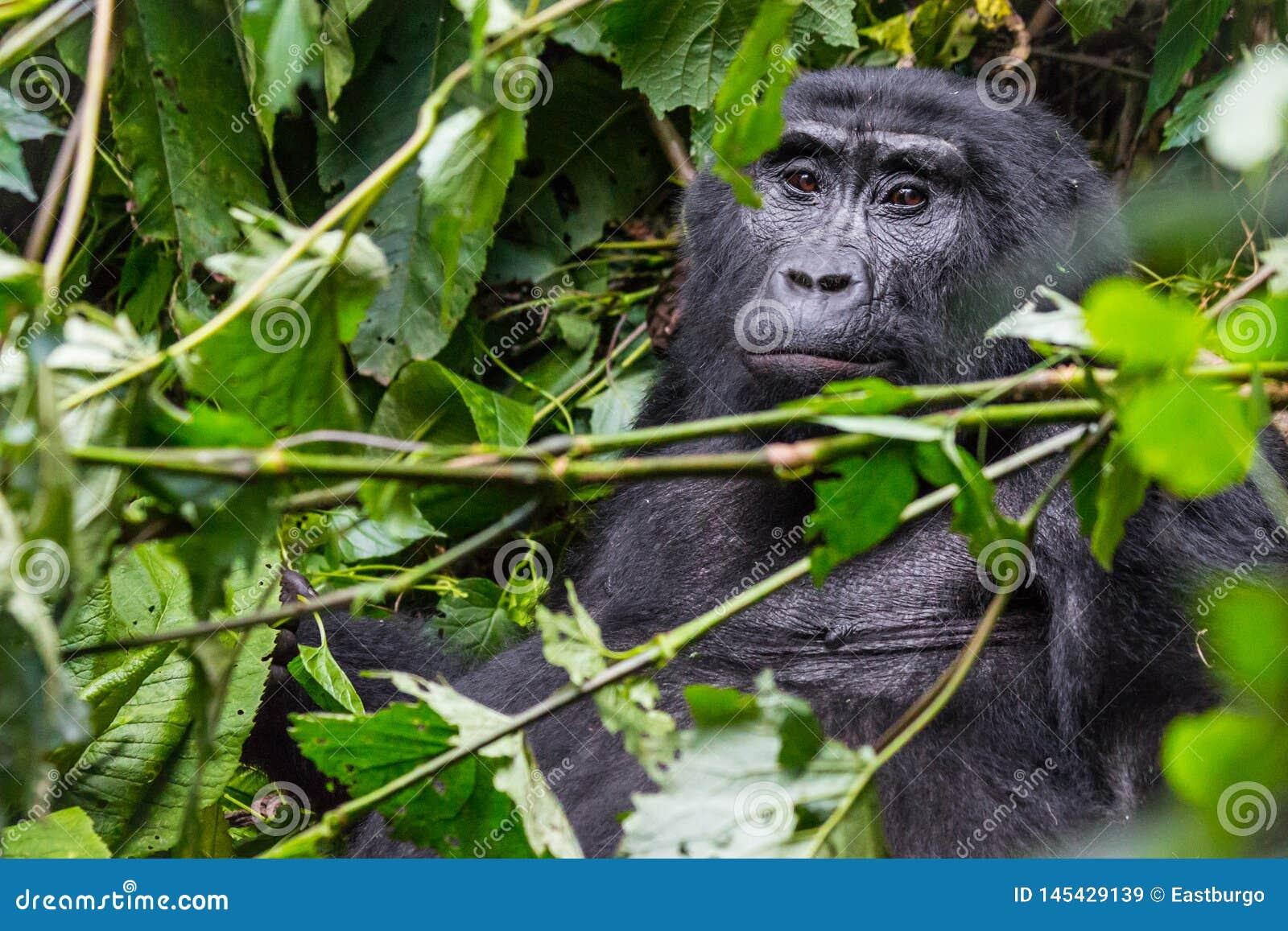 Zadumany goryl w Nieprzebitym lesie
