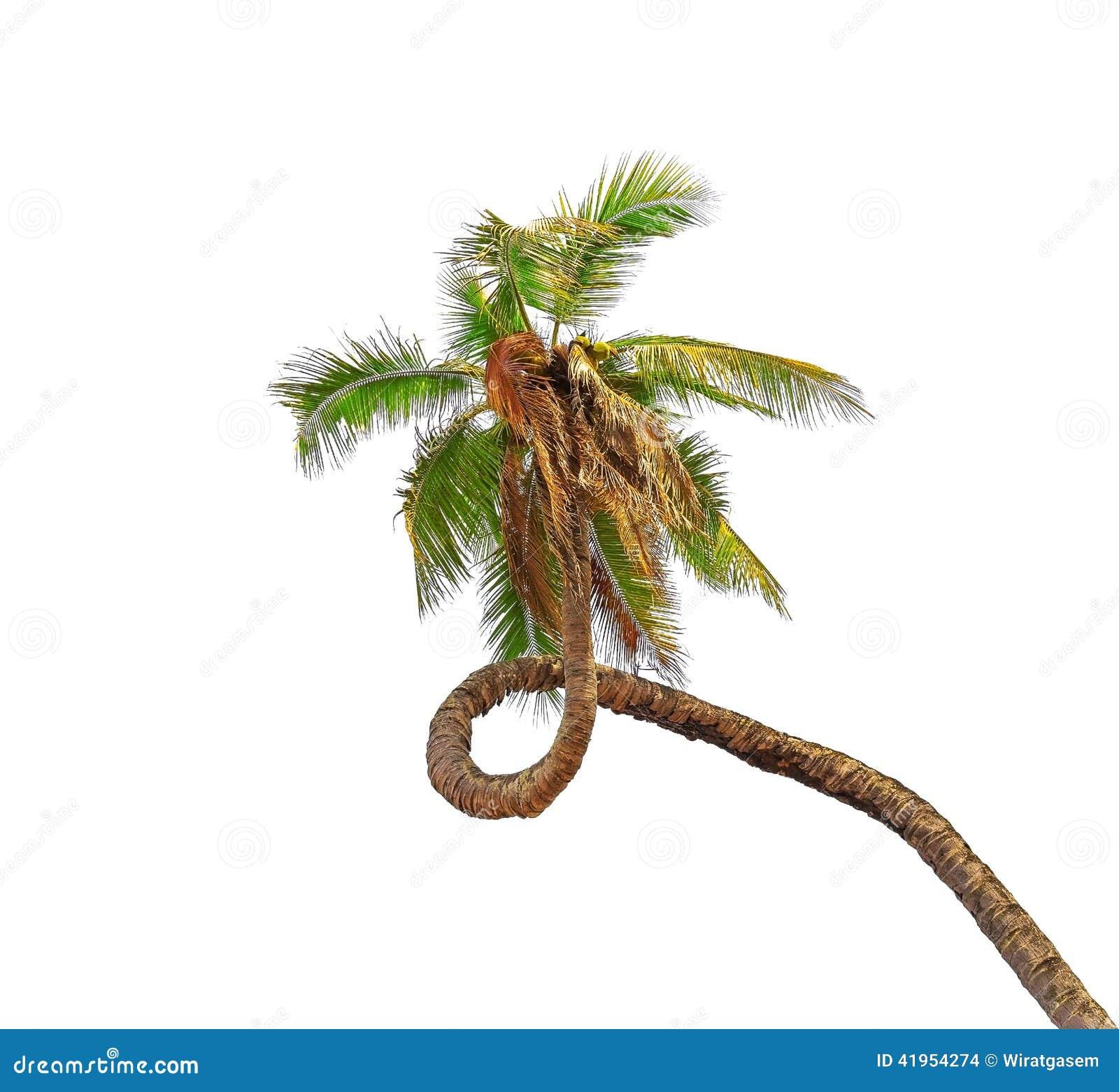 Zadziwiający kokosowy drzewko palmowe
