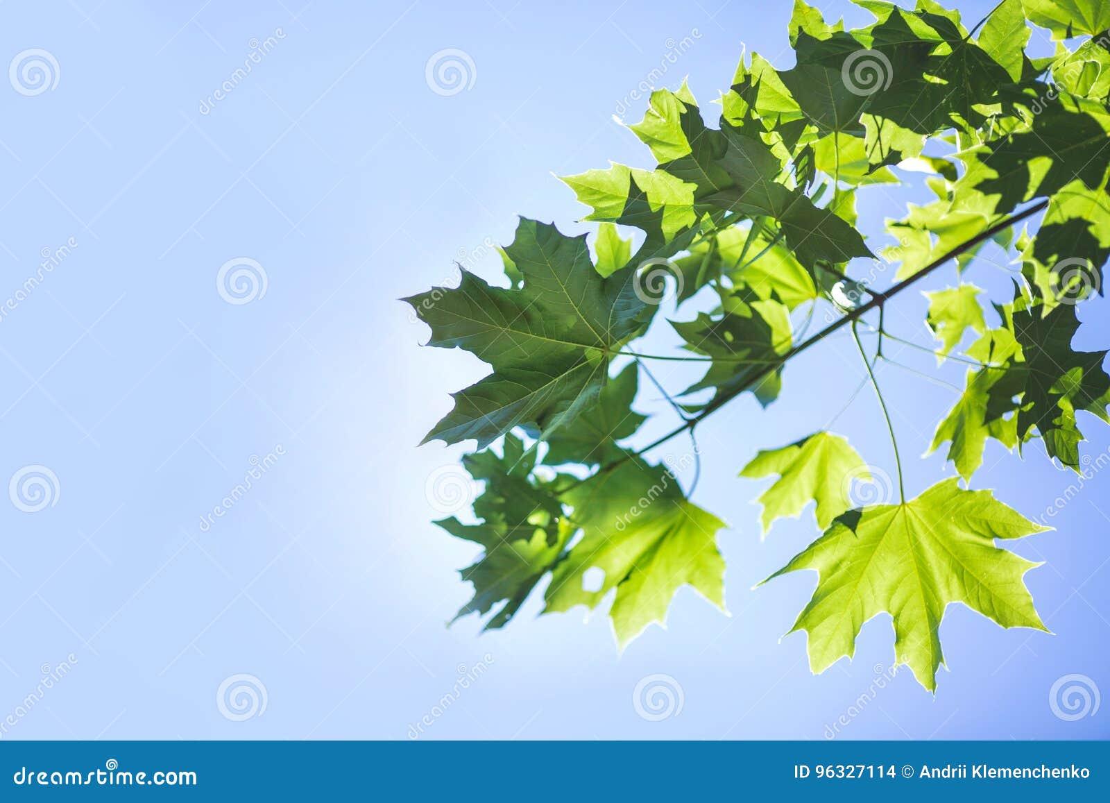 Zadziwiający kolorowy ulistnienie na jaskrawym niebieskim niebie Wiosny gałąź z zielonymi liśćmi Środowisko, natura, ekologii poj
