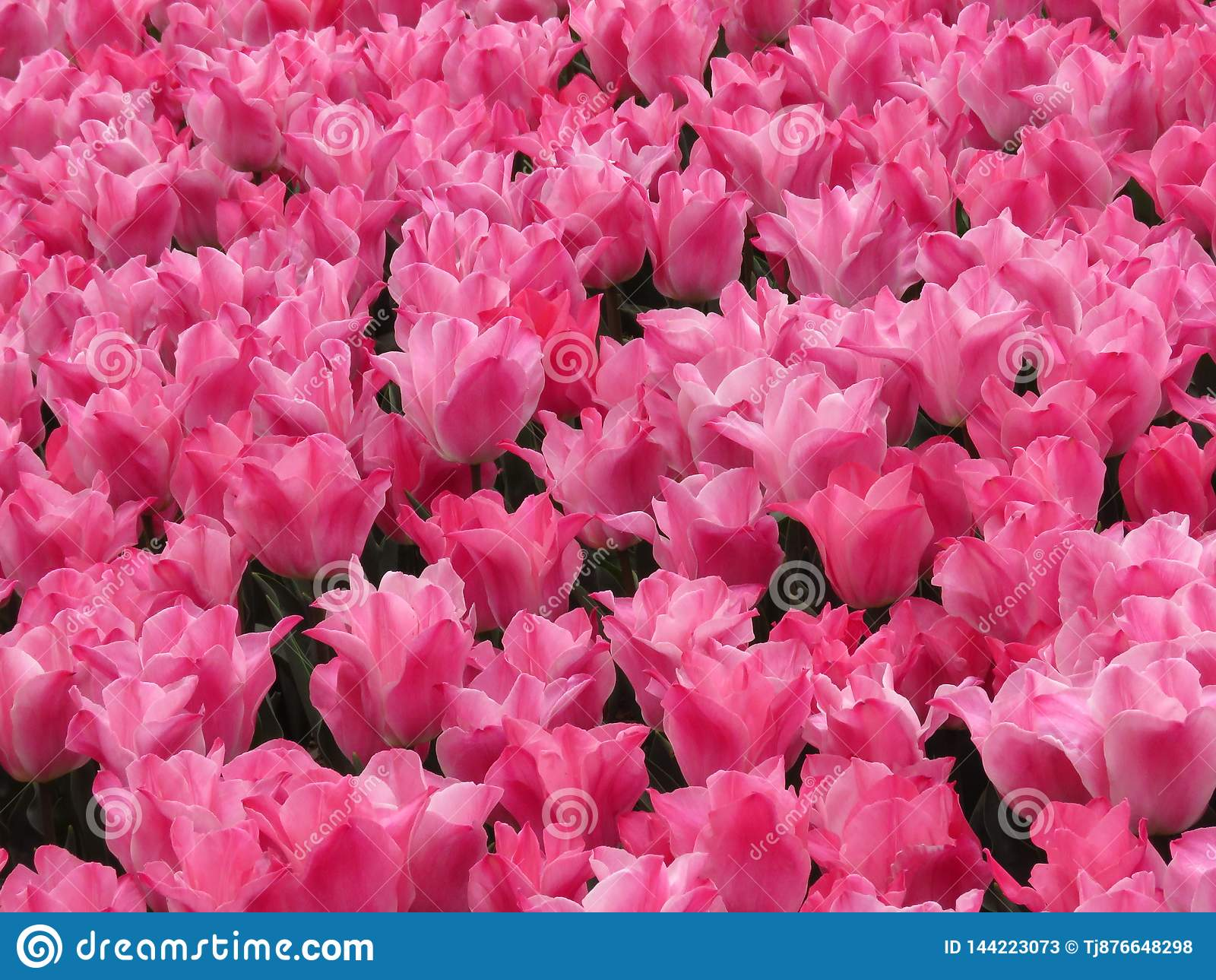 Zadziwiający różowy tulipanu pola strzał Wiele tulipany kwitnie w ogródzie
