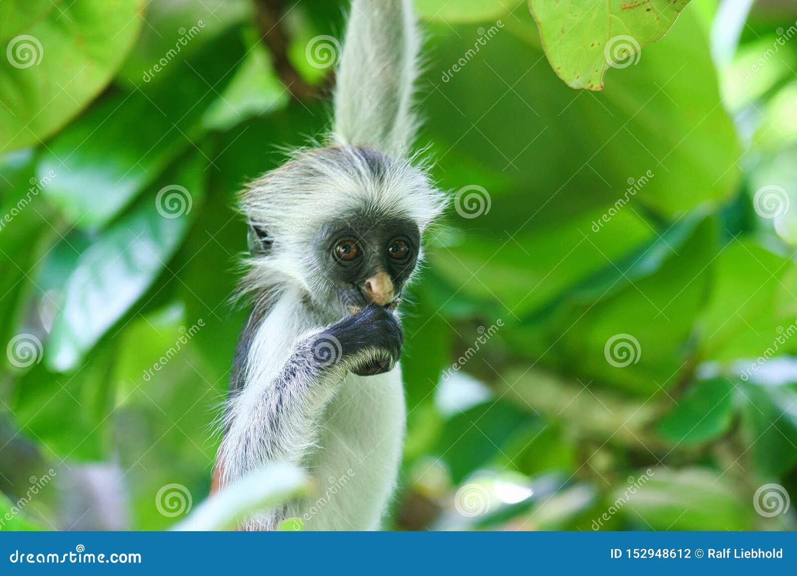 Zagrażająca młoda czerwona colobus małpa Piliocolobus, Procolobus kirkii obwieszenie na gałęziastym łasowaniu liść w drzewach
