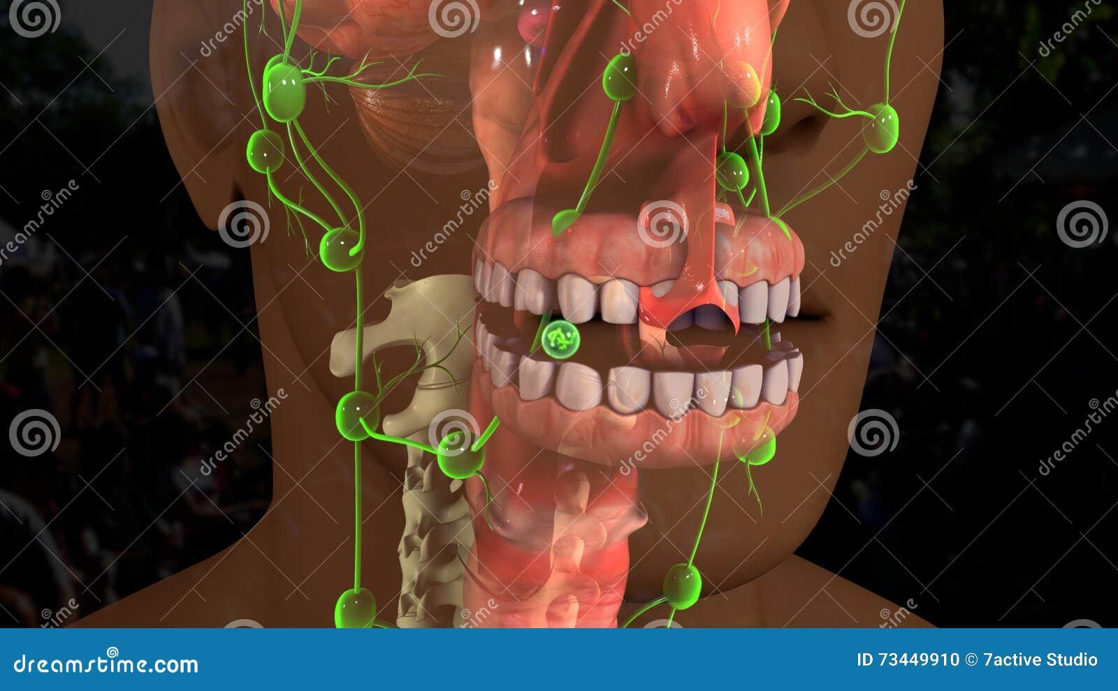 Zahn-Anatomie stock abbildung. Illustration von obacht - 73449910