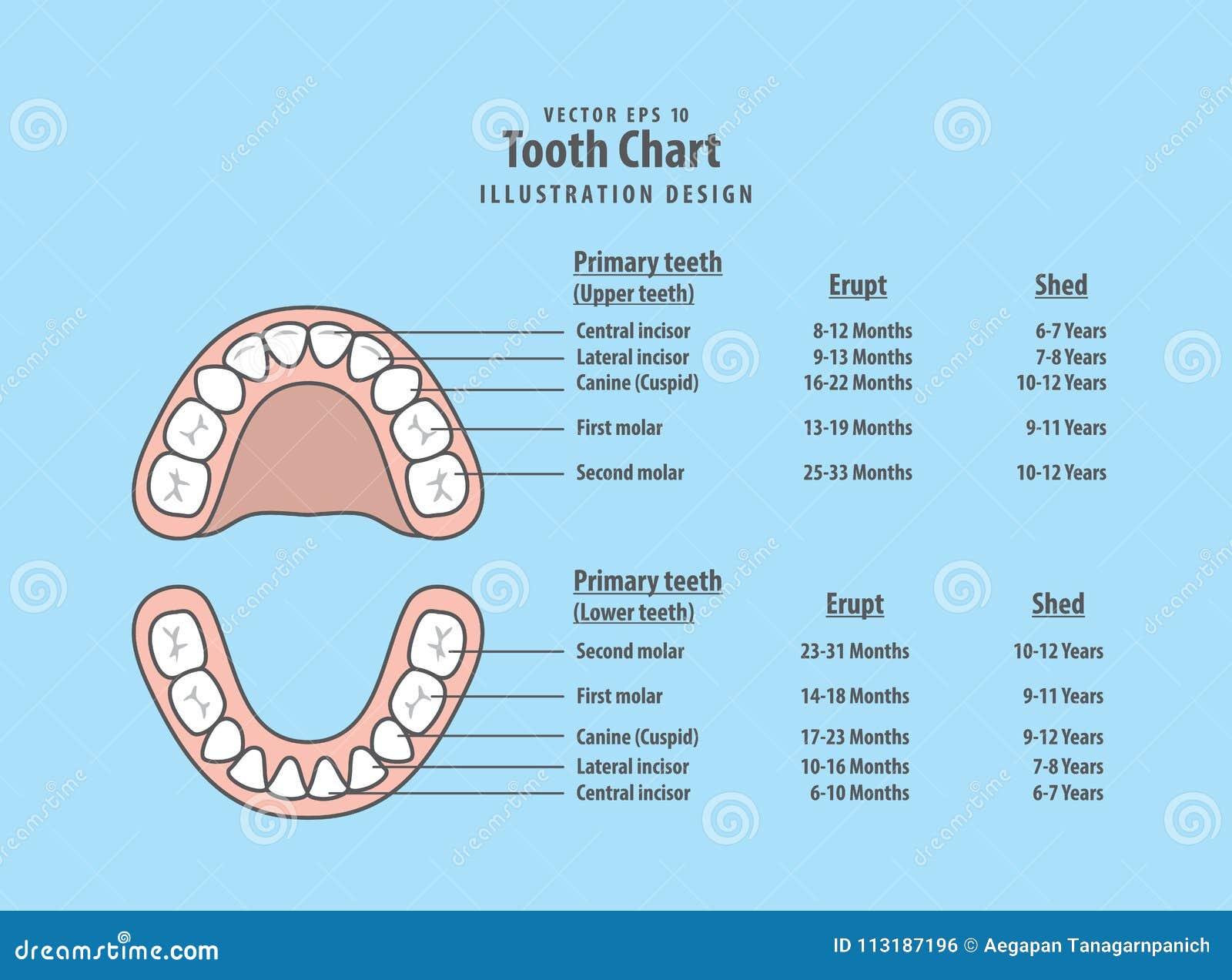 Zahn-Diagramm-Milchzähne Mit Brechen Aus U. Verschütten ...