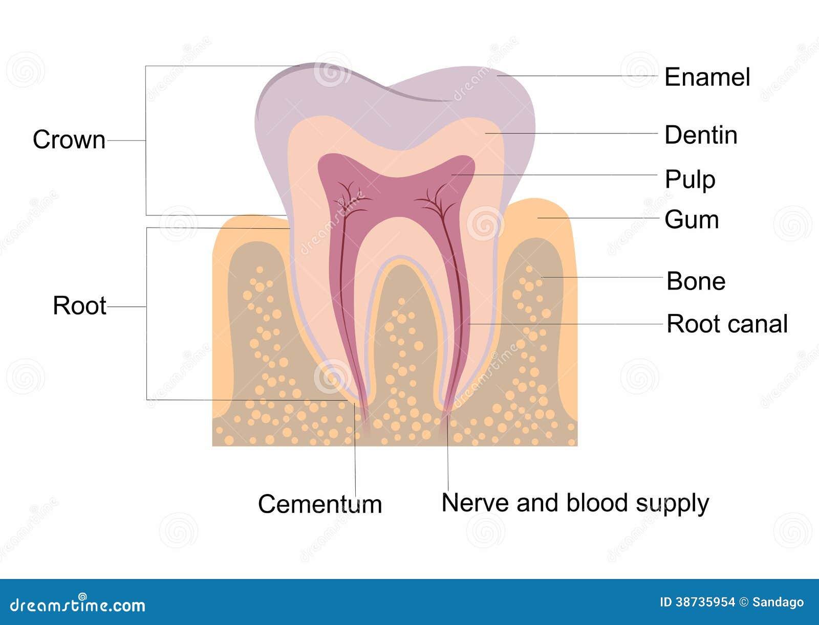 Zahnanatomie vektor abbildung. Illustration von gesund - 38735954