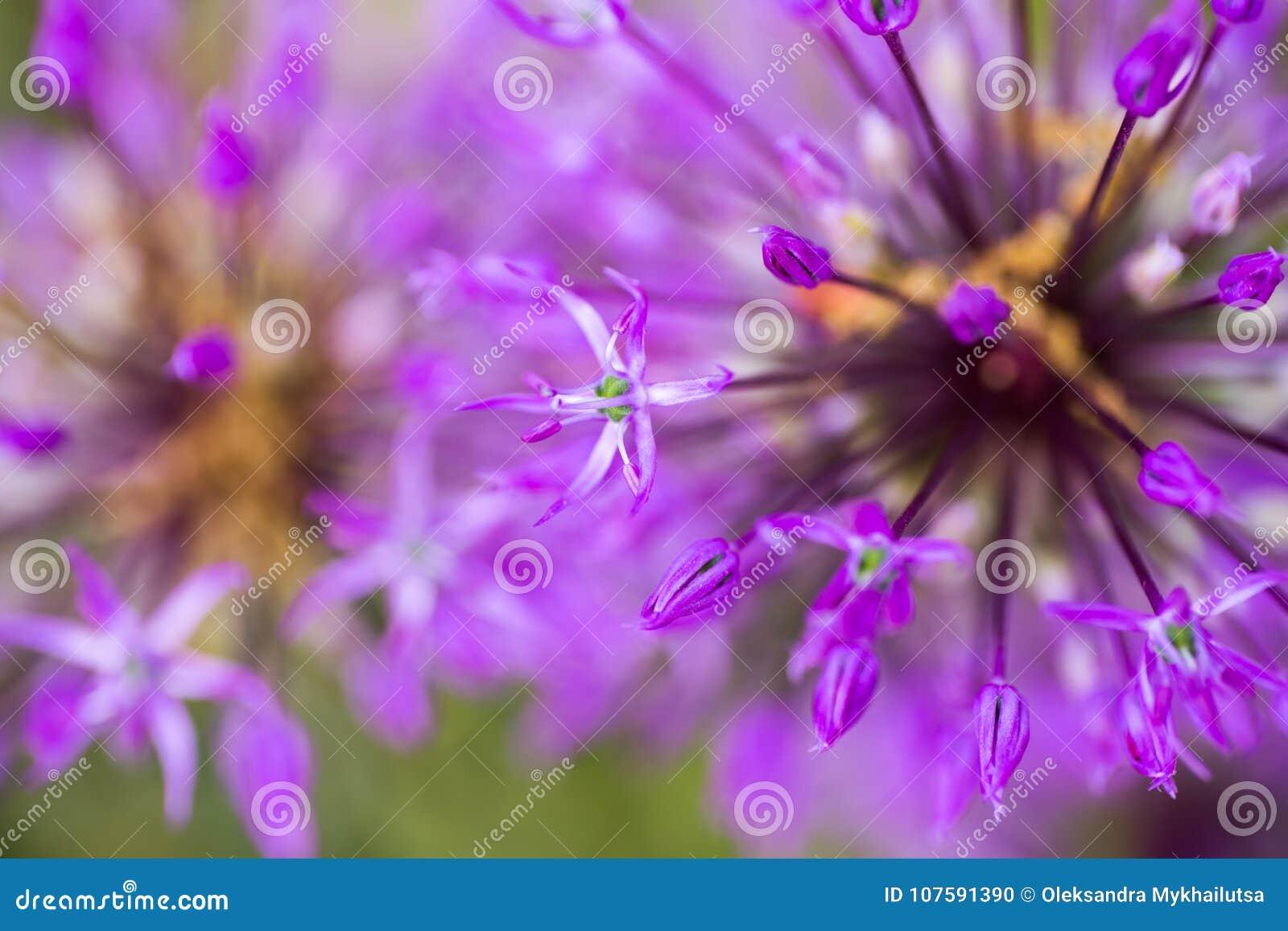 Zakończenia Allium purpurowi kwiaty Abstrakcjonistyczni naturalni fiołkowi makro- półdupki