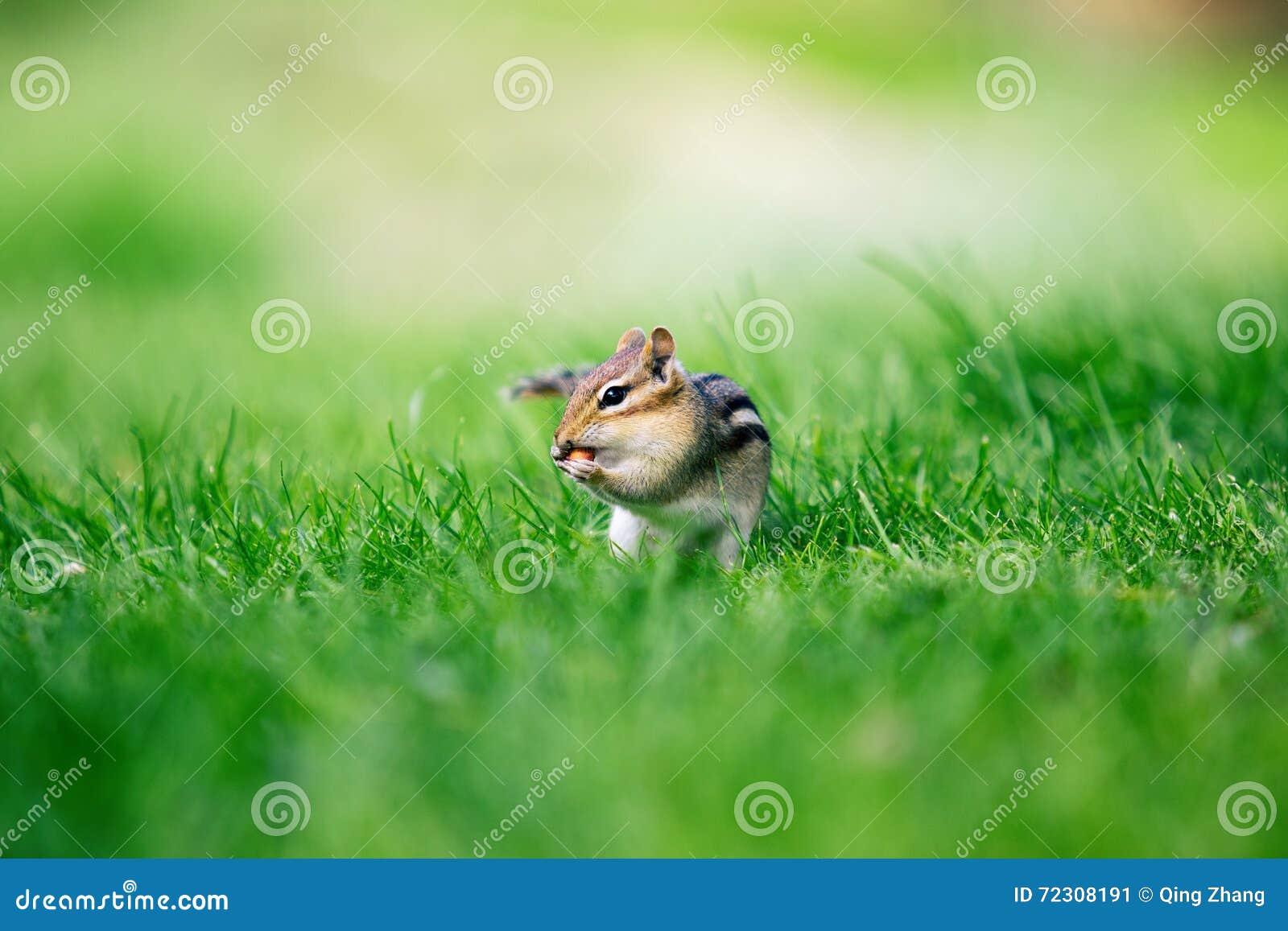 Zakończenia chipmunk łasowania mały arachid na zielonej trawy tle