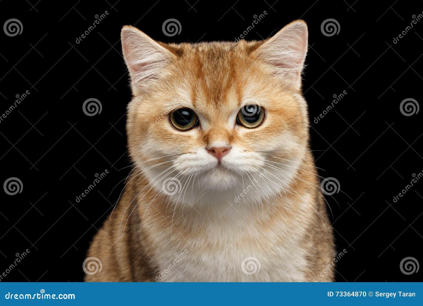 Zakończenie Brytyjskiego kota Złocisty Szynszylowy Patrzeć w kamerze, Odosobniony czerń