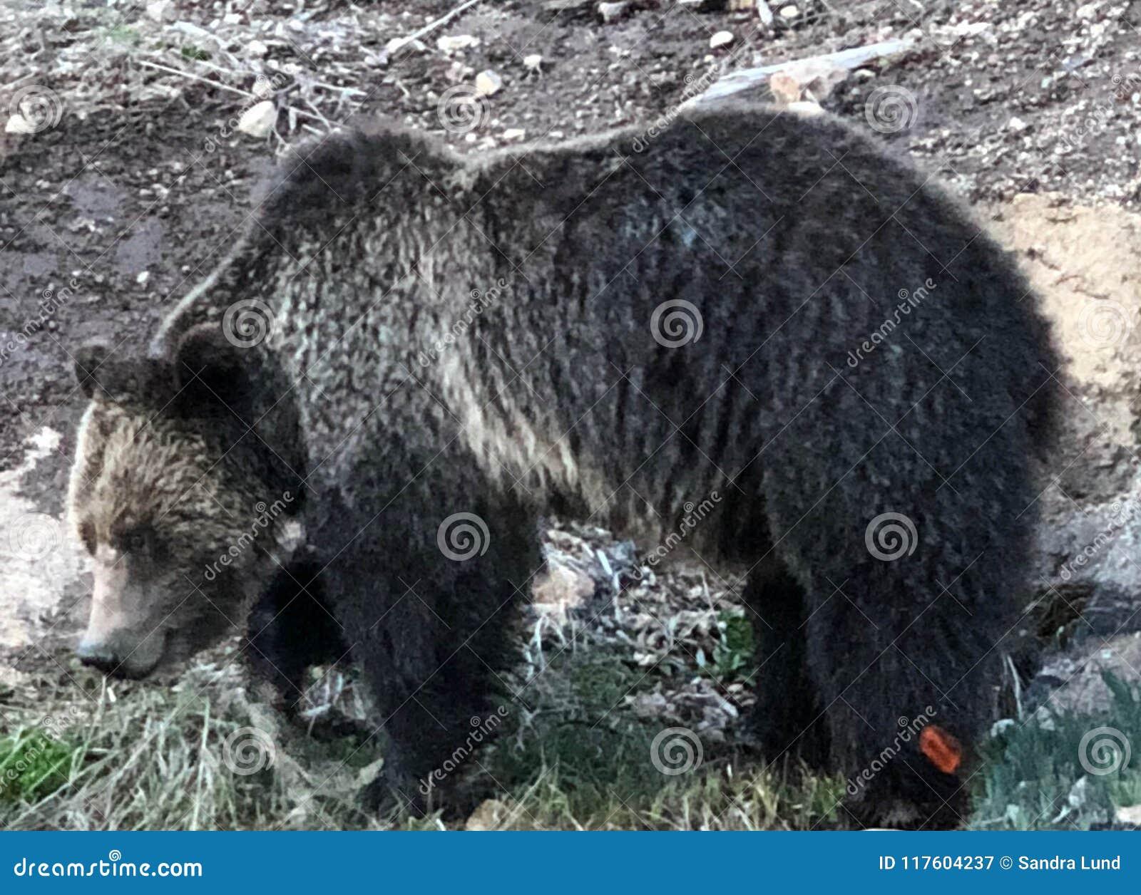 Zakończenie czarny grizzly niedźwiedź przy parkiem narodowym