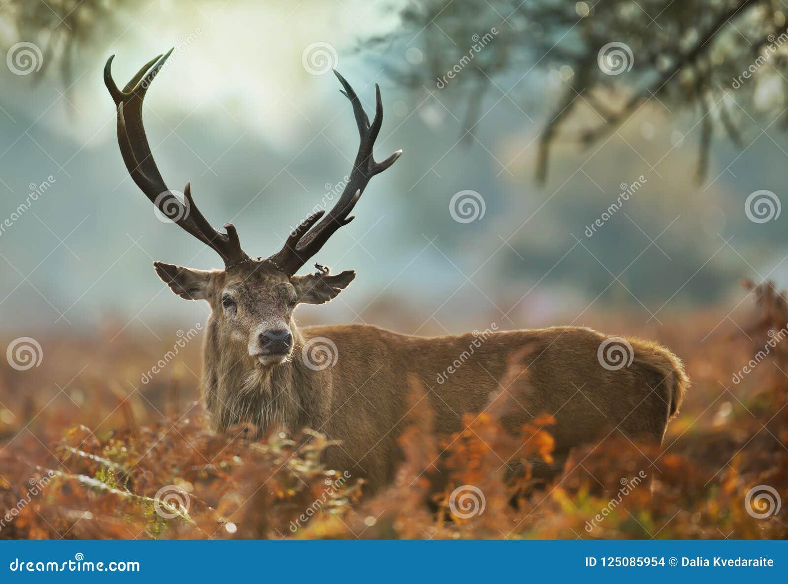 Zakończenie czerwonego rogacza jeleń z zdradzonym ucho