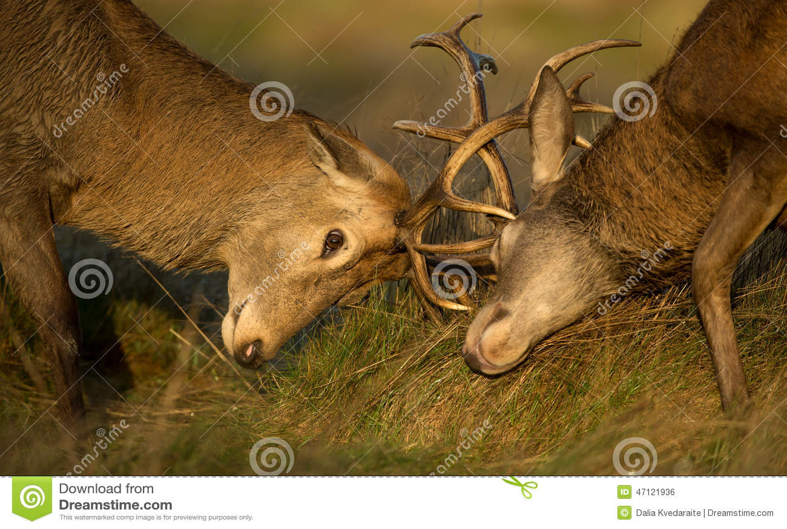 Zakończenie Czerwonego rogacza jelenia walka
