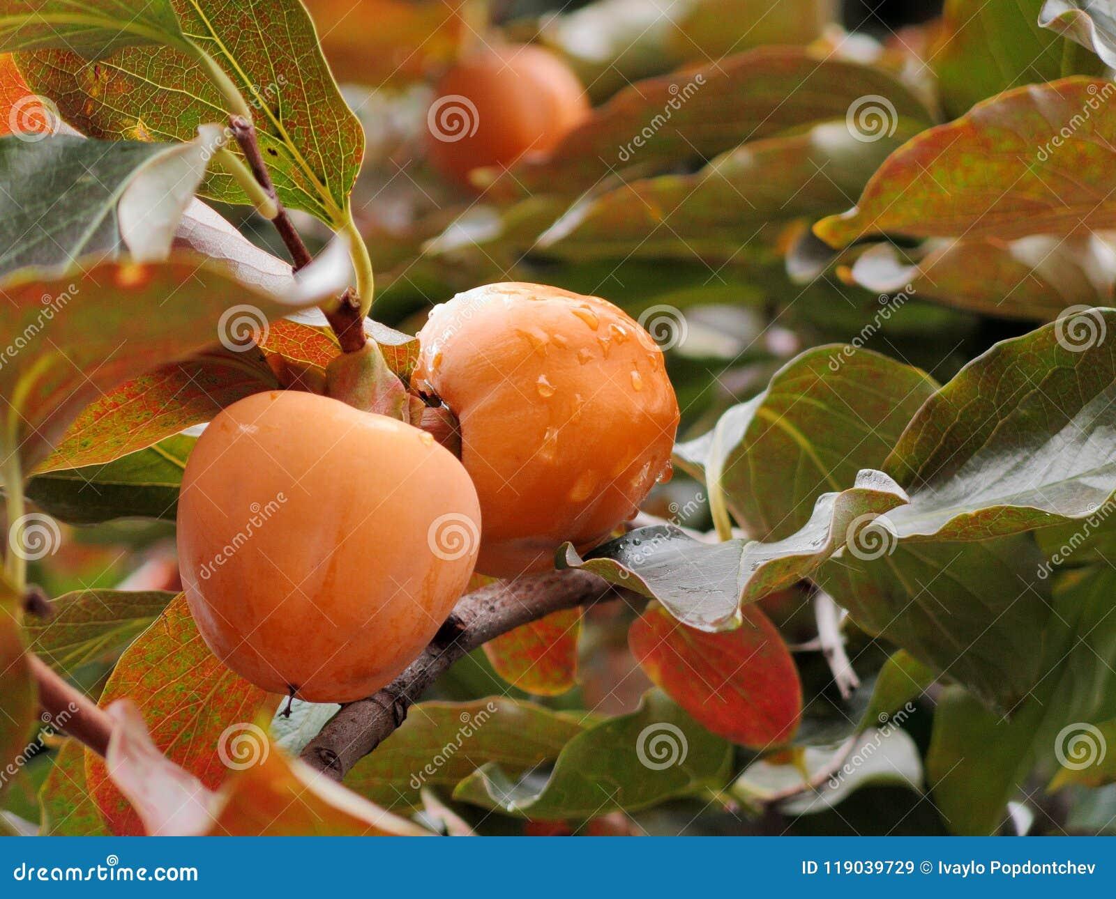 Zakończenie Dojrzałe Japońskiego persimmon owoc na drzewie po jesień deszczu