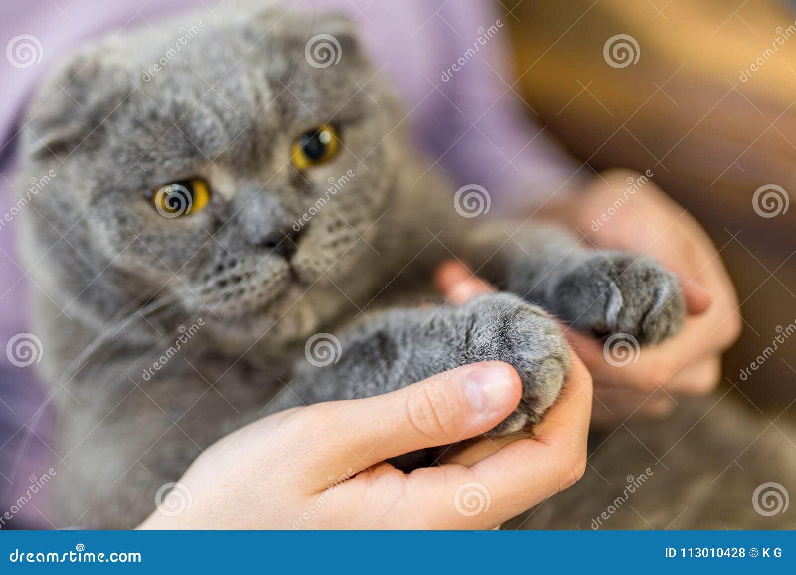 Zakończenie kota ` s puszysta łapa w ludzkich rękach Zwierzę domowe przyjaźń i opieka Prohibicja koty declawing operaci pojęcie P