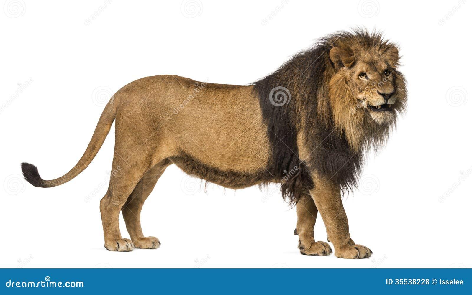 Zakończenie lwa huczenie, Panthera Leo, 10 lat, odizolowywających